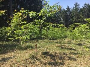 190511植樹1号地下刈り後